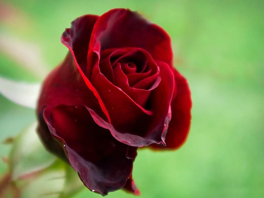 Beautiful-Red-Rose-1440x1920