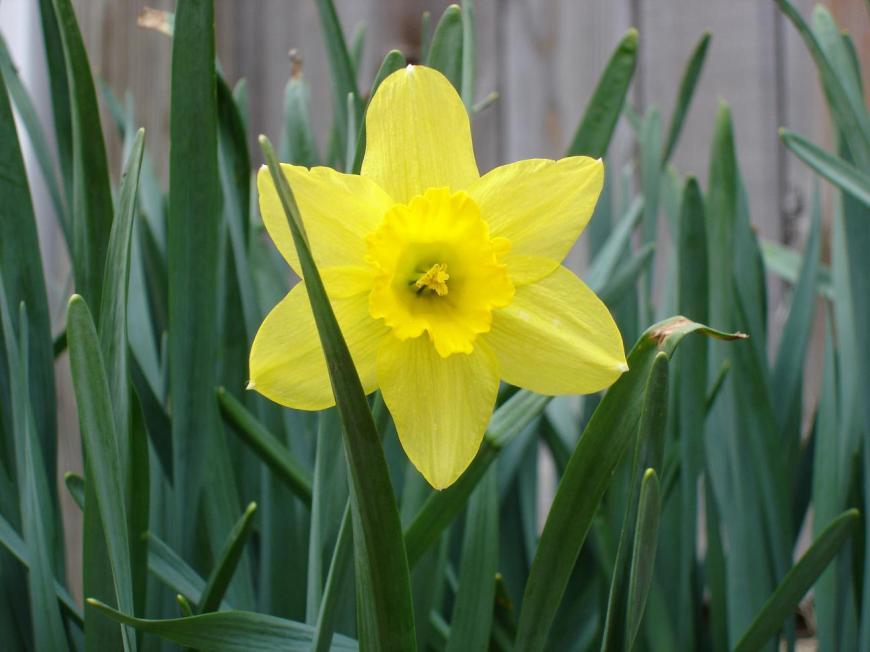 Daffodil-flower