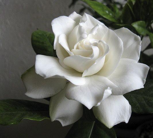 Gardenia_augusta19561